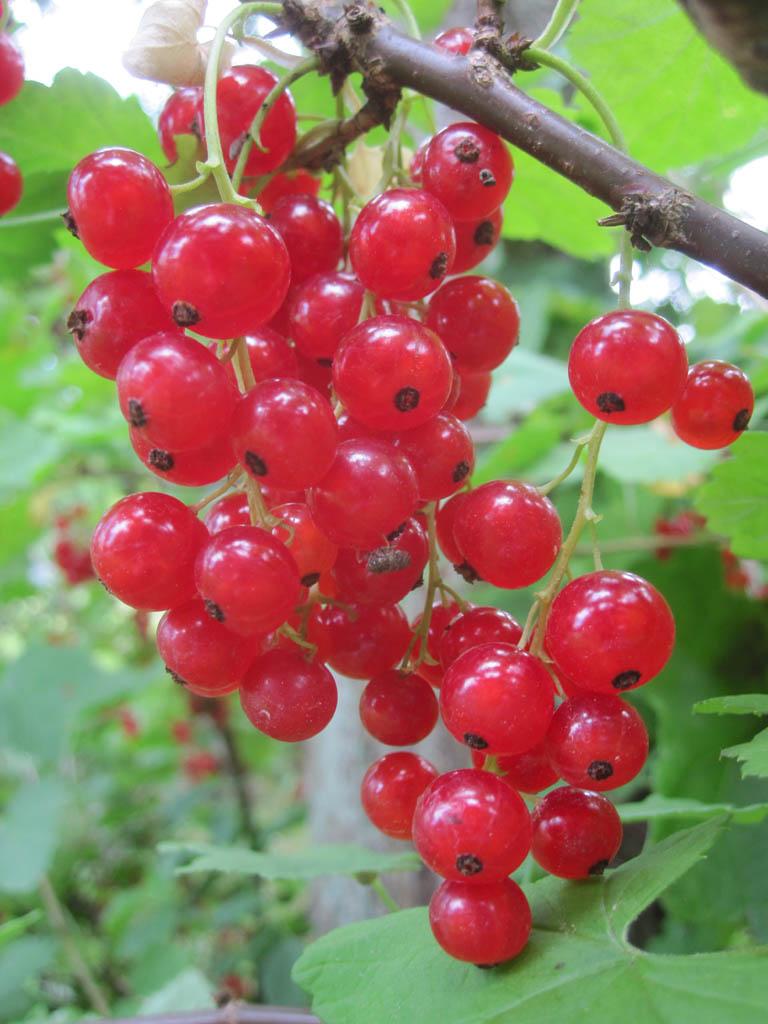 Rote Johannisbeere Sorten