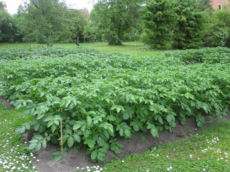 kartoffel pflanzen kartoffeln anbauen einfach besser. Black Bedroom Furniture Sets. Home Design Ideas