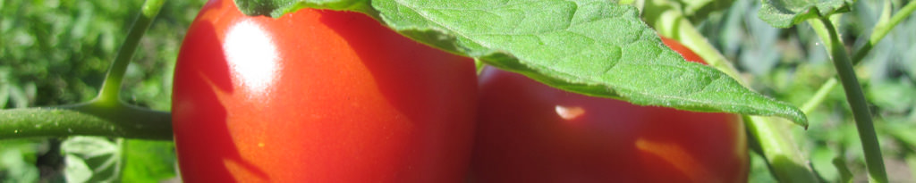 Tomaten in voller Reife